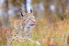 Enjoying life (CecilieSonstebyPhotography) Tags: grass bokeh portrait eurasianlynx lynx endangered closeup cat canon straw september animal norway markiii gaupe langedrag canon5dmarkiii ef70200mmf28lisiiusm relaxed straws autumn catfamily specanimal