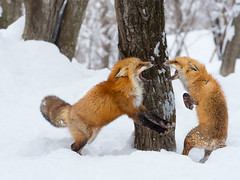 774817 (lottetoppo) Tags: olympus omd em1mark2 em1mkii 40150mm animal nature snow winter fox japan miyagi