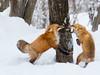 774817 (lottetoppo) Tags: olympus omd em1mark2 em1mkii 40150mm animal nature snow winter fox japan miyagi