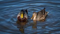 ducks (Rourkeor) Tags: ayrshire scotland unitedkingdom gb ducks water ripples reflections olympus omd em1mk2 12100mmpro