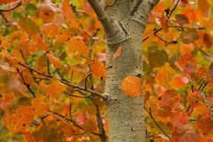 Esperando el color y las formas . ( In Explore ) (Juan J. Marqués) Tags: otoño naranjas rojos amarillos hojas