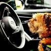 In the driving seat (michaeljoakes) Tags: pickle driving steeringwheel car borderterrier dog pet square squareformat iphone juliusk9 audi colour color portrait nature instagram