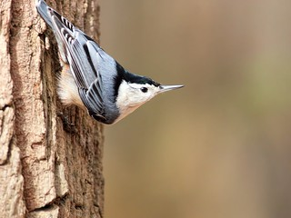 Nuthatch (Explored)
