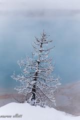Just A Tree (maureen.elliott) Tags: tree frost water blue aqua hotspring geothermalarea yellowstonenationalpark nature winter landscape mist steam