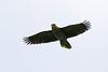 Red-Lored Parrot (Alan Gutsell) Tags: texasbirds texas rio alan nature wildlife photo canon camera bird statepark redlored parrot redloredparrot brownsville
