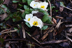 DSC_8882 Primroses (PeaTJay) Tags: nikond750 sigma reading lowerearley berkshire macro micro closeups gardens outdoors nature flora fauna plants flowers primrose primroses
