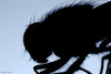 Fly silhouette (Allan Jones Photographer) Tags: insect fly macro silhouette artistic arty hairy allan jones photographer2 allanjonesphotographer canon5div canonmpe68mmf285xmacro extremecloseup nature diptera cinematic