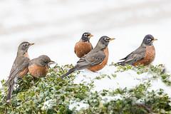 FIrst Snow 201720170105DSC_2357-00010-1.jpg (Nancy Helmer Photography!) Tags: seasons nancyhelmerartistwebsitescom winter nature bird robin colors animals americanrobin noun elementsofnature snow