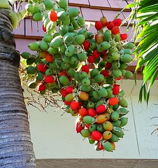 Oil Palm Nut Cluster -   IMG_20180115_191935 (mshnaya ☺) Tags: oil palm nut cluster tree betel kernal tropical nature flora flickr florida vegetation leicac leica compact camera point shoot