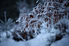 Frosted (Rodney Campbell) Tags: frost plant germany tree zugspitze snow