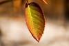 _DSC0808 (steven.frampton) Tags: nature rose leaves