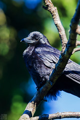 Seattle_Crow_537 (Zero State Reflex) Tags: seattle crow corvid birds wildlife wildlifephotography pnw washington photography canon 5dmark3