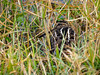 Wilson's Snipe in the grass (Ed Rosack) Tags: usa viera bird wilsonssnipe centralflorida vierawetlands 34sandpipersphalaropesandallies ©edrosack florida cosn gallinagogallinago melbourne