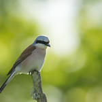 Red-backed shrike Lanius collurio Gąsiorek thumbnail