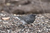 Dark-eyed Junco ( Slate-colored) - Explore (jlcummins - Washington State) Tags: home yakima washingtonstate yakimacounty tamronsp150600mmf563divcusd bird fauna backyardbirds