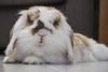 #BunnyLife (LoriGH25) Tags: bunny rabbit lop animals nature funny cute animali coniglio coniglietto cucciolo