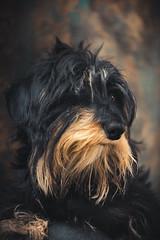 Bad hair day (Ro Cafe) Tags: milonga portrait dog doggie dachshund teckel black fire lovely nikkormicro105f28 nikond600
