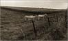 Ceci n'est pas un train (Jean-Marie Lison) Tags: honnelles angreau vache bœuf prairie clôture v700 scandia rouille chemin noiretblanc nb monochrome