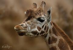 Young Rothchild's Giraffe (yadrad) Tags: giraffe paignton paigntonzoo devon zoo animal rothchildsgiraffe ngc