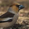 Handsome Chap! (Chris Bainbridge1) Tags: coccothraustescoccothraustes malehawfinch portrait side woodland bird hornbeam