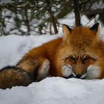 Red fox (Rotfuchs) at Wildpark Poing near Munich, Bavaria, Germany thumbnail