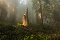 Pinnacle (Bob Bowman Photography) Tags: forest trees light tree stump mist fog ferns green redwoods california landscape woods foggy atmosphere 707