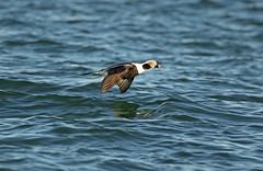 Long-tailed Duck - 094A0051ac (Sue Coastal Observer) Tags: longtailedduck ltdu clangulahyemalis semiahmoopeninsula washington usa flight male