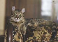 sweet miko (rockinmonique) Tags: cat kitten pet anima portrait eyes soft bokeh moniquew canon canont6s tamron tamron90mm copyright2018moniquewphotography