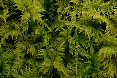 Vert c'est vert ! (annabuni) Tags: vert verdure mousses green macrophotographie macro macrophoto macronature proxy proxyphotographie nature printemps spring humidité humidity textures anna bunichon onnalua annarchie tamron lens 90 mm f28 vi usd sony alpha slta58