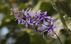 Petrea volubilis (Saniya Ruby) Tags: dhaka versity spring flowers pleasure plant tree green colors karjon hall petrea volubilis নীলমনিলতা purple wreath queens sandpaper vine