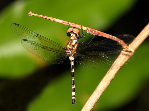Rainforest Elf (female) (Tetrathemis irregularis)