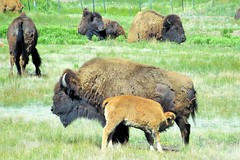 At Home on the Range (Patricia Henschen) Tags: parkcounty colorado bison buffalo calf rural ranch backroads southpark