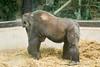 2018-03-03-13h11m52.BL7R0164 (A.J. Haverkamp) Tags: canonef100400mmf4556lisiiusmlens shindy amsterdam zoo dierentuin httpwwwartisnl artis thenetherlands gorilla sindy pobrotterdamthenetherlands dob03061985 noordholland netherlands