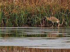 Skating Bittern WWT Barn Elms 4/3/2018 (#Dave Roberts#) Tags: wwt barn elms london wildlife birds bittern pair ice reeds lake uk england march 2018 wader skating cold snap chilly face off meeting