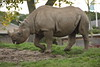 Chester Zoo (808) (rs1979) Tags: chesterzoo zoo chester blackrhino rhino