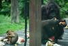 Feeding time (Xnalanx) Tags: activity ape asia borneo eating malaysia mammals monkey orangutan pigtailedmacaque places sandakan sepilokorangutanrehabilitationcentre wildlife