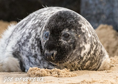 seal pup (joemd69) Tags: animals wildlife nature seal pup beach cute