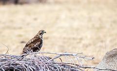 Surprise Hawk (JarrodLopiccolo) Tags: sierranevada markleeville nevada winter fall outfoor nature outdoor hawk red tailed