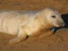 A ..... you're adorable (jpotto) Tags: uk lincolnshire donnanook seal pup animal