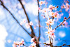 cherry blossoms in January '18 (Myoren-ji temple, Kyoto) (Marser) Tags: xt10 fuji lightroom japan kyoto temple flower cherry sakura skyblue fineweather 京都 妙蓮寺 桜 御会式桜