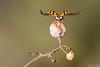 Leaving the Scene (Vie Lipowski) Tags: ladybug ladybird ladybeetle vitisripariamichx riverbankgrape frostgrape wildgrapes insect bug beetle fruit wildlife nature macro