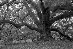 L'arbre de Diane aux Clayes-sous-Bois (Philippe_28) Tags: lesclayessousbois yvelines 78 france iledefrance olympus trip 35 analog analogue argentique 24x36 135 film platane arbre remarquable awesome tree plane