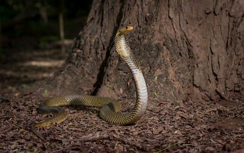 Javan Spitting Cobra (Naja sputatrix)