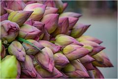 fiori di loto ... (miriam ulivi) Tags: miriamulivi nikond7200 indiadelsud distrettodigoasud mormugao fiori flowers fioridiloto lotusflowers nature