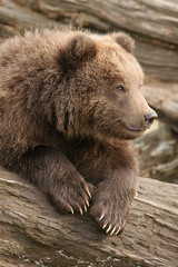 Brown Bear Cub - Portrait (AlaskaFreezeFrame) Tags: grizzly brownbear grizzlybear bears bruin alaska alaskafreezeframe outdoors wildlife nature dangerous ursusarctoshorriblis mammal carnivore omnivore meadow fall claws canon telephoto powerful beautiful magnificent