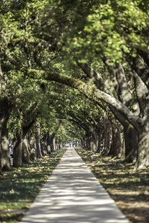 Main Street Oak Trees, Houston
