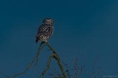 Athene Noctua (eric-d at gmx.net) Tags: athenenoctua strigidae steinkauz littleowl owl eule kauz eric wildlife ngc