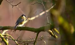 Great tit (Adam Swaine) Tags: tits greatbritain wildlife birds gardenbirds englishbirds wild animals rspb england english canon britain british peckhamryepark 2018 naturelovers nature naturewatcher greattit