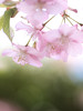 Colors that make me feel happy (Tomo M) Tags: kawazucherryblossoms 河津桜 bokeh pink green nature seasons colors soft pastel