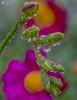 Devi soffermarti con umiltà anche dinnanzi ad una goccia di rugiada che brilla su un filo d'erba. Perchè potresti riuscire a vedervi l'arcobaleno... (lulo92) Tags: macro macros details micro water drop drops extreme top flower plants green violet purple sigma nikon rain sigma105 focus stacking stak fusion shots